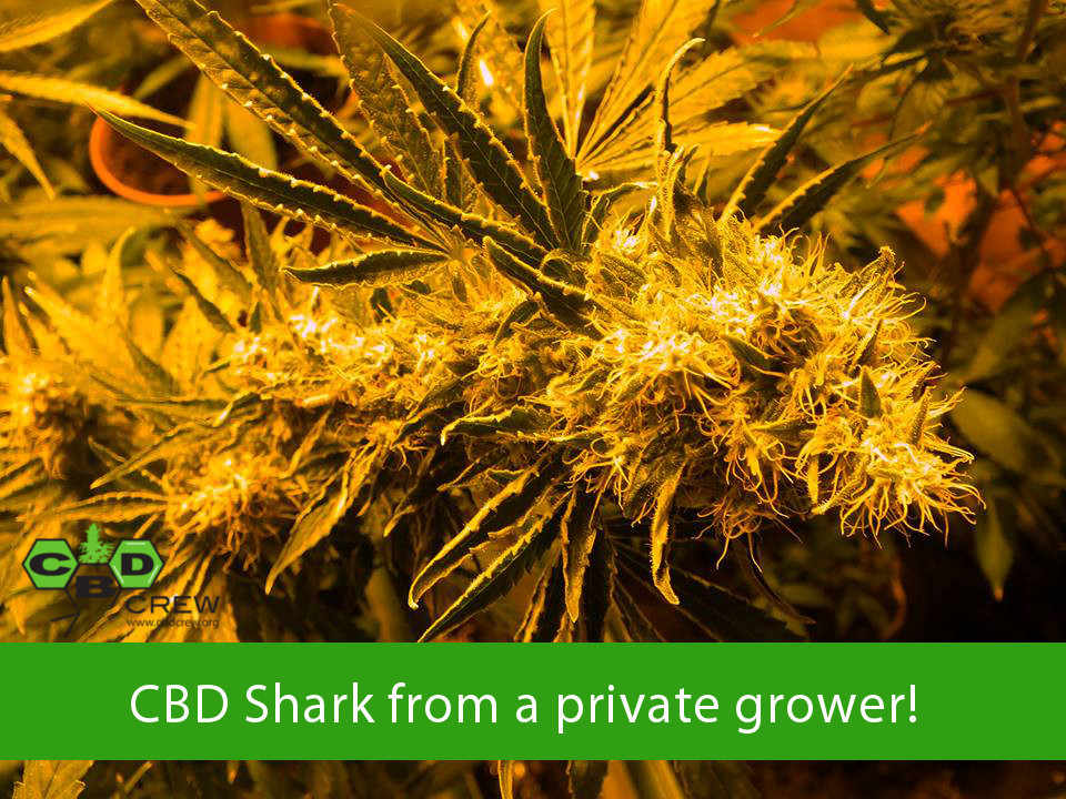 CBD Shark Shock