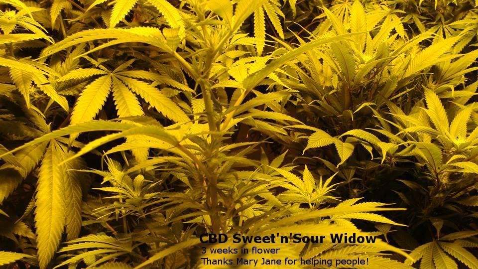 CBD Sweet and Sour Widow