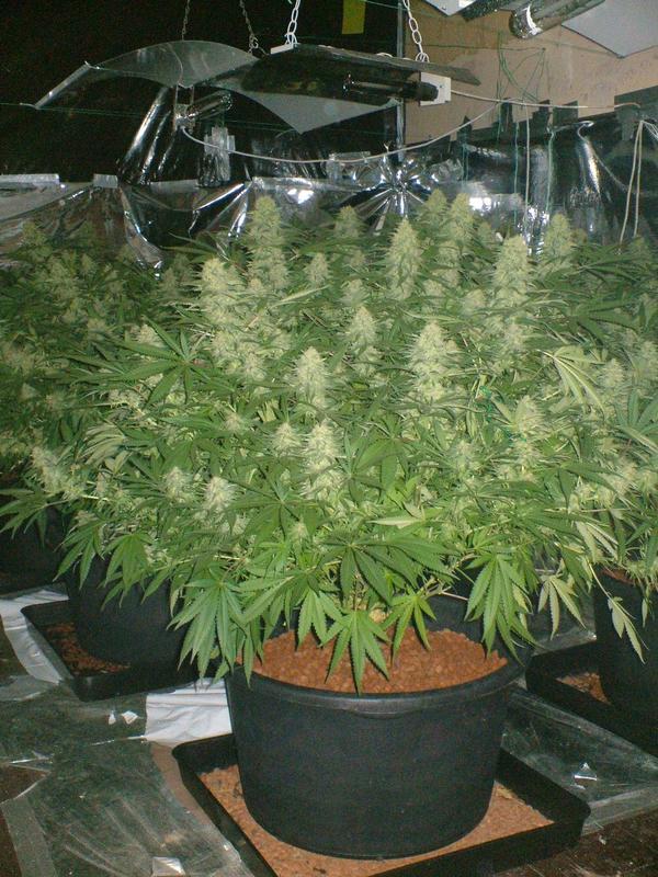 White Widow x Big Bud