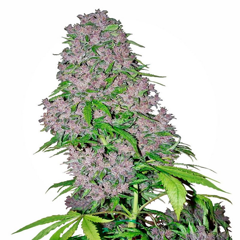 Purple Bud Automatic - White Label