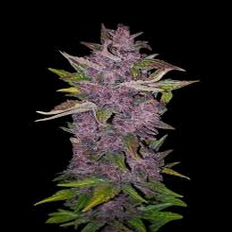 Purple Bud - White Label