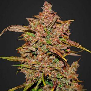 Crystal Meth- Autoflowering