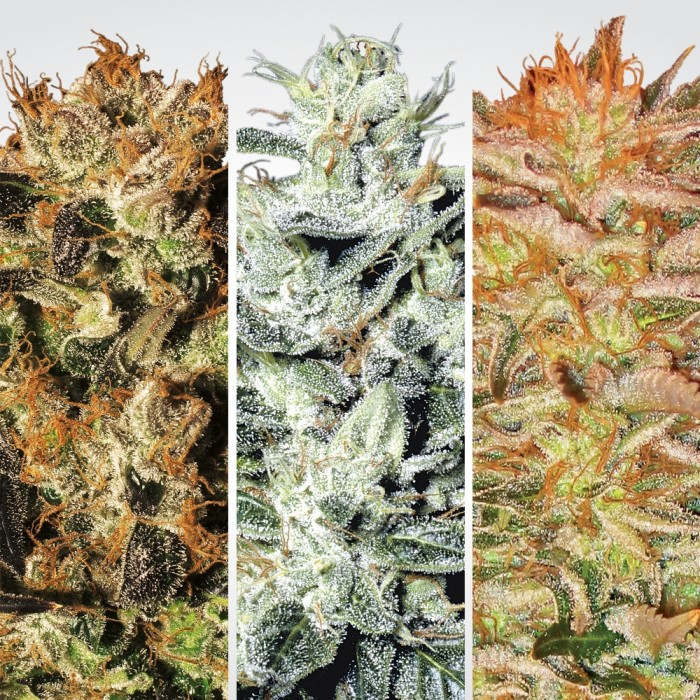 Indica Champions Pack