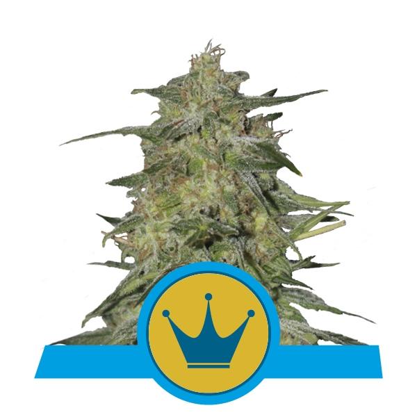 Royal Highness CBD