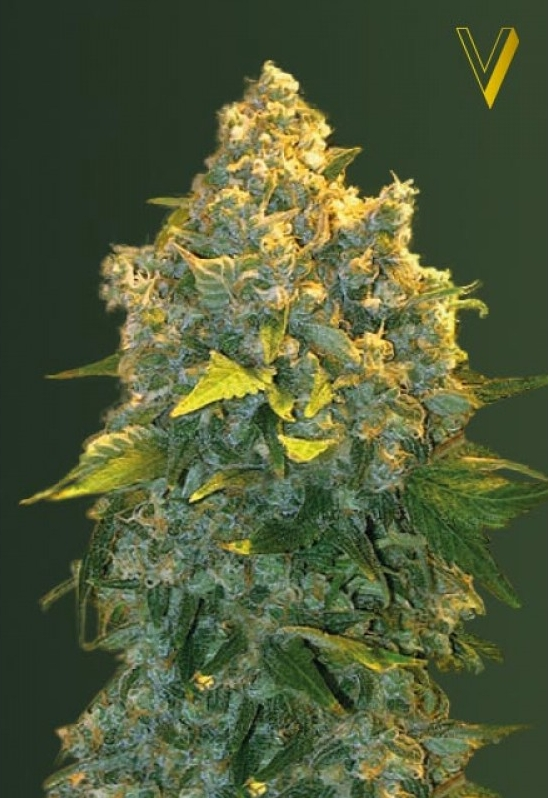 Auto Chronic Monster XXL