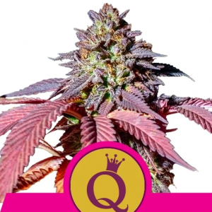 purple-queen1